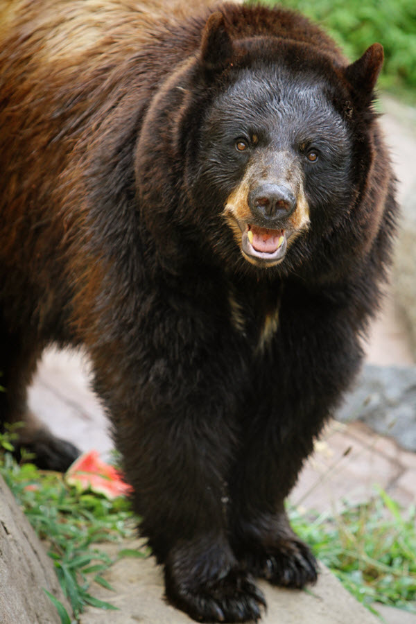 Mimi the black bear lives at the Museum of Life and Science